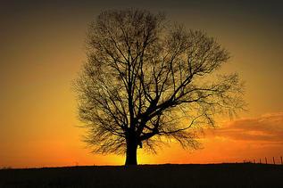 Bill Robensons Tree by Grover Crawford