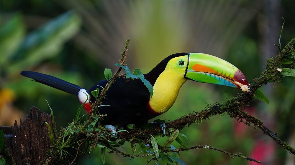 Keel Billed Toucan - Costa Rica