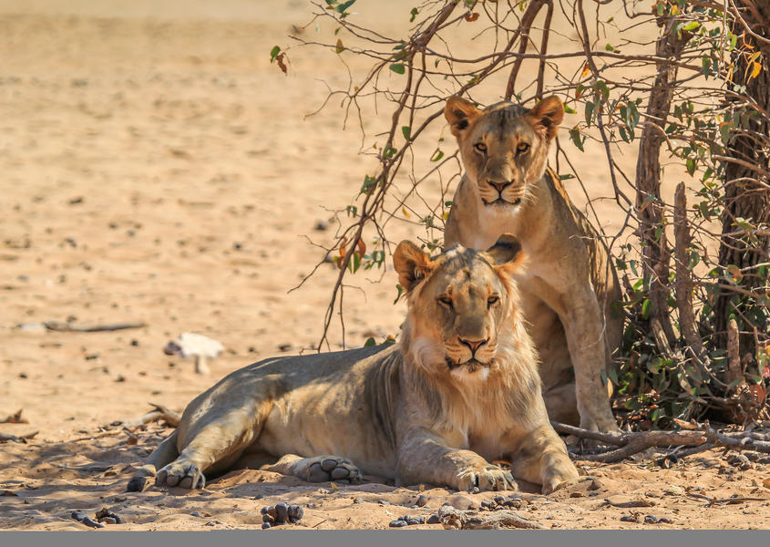 namibia hobatere lodge lions