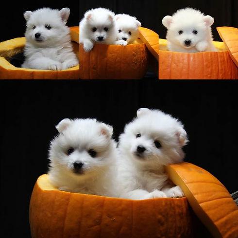 Pumpkin pups!!!!!__#pumpkinpups_#eskies_