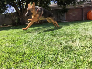 Puppy Walk and Yard Play Time