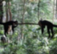 Monkeys lying on branch