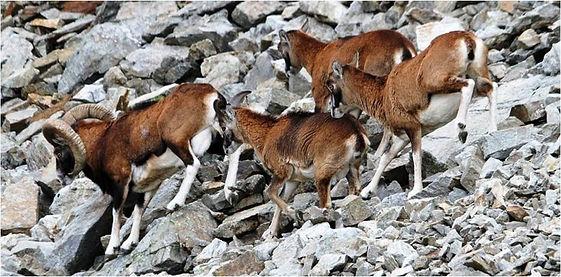 Mouflon-JPB.jpg