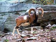 Mouflon_2.jpg