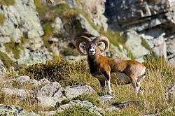 Mouflon02