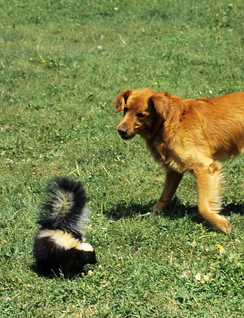 A photo of a dog encountering a skunk.