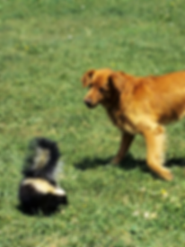 Photo of dog approaching a skunk