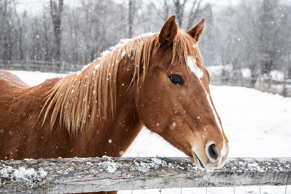 Beautiful brown horse standing behind wooden fence during winter snowfall (iStock)