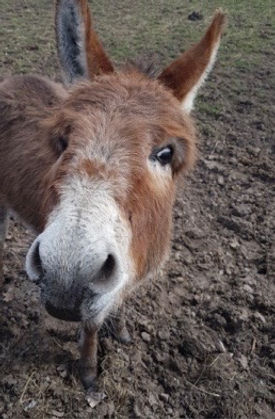 A photo of Henry the donkey