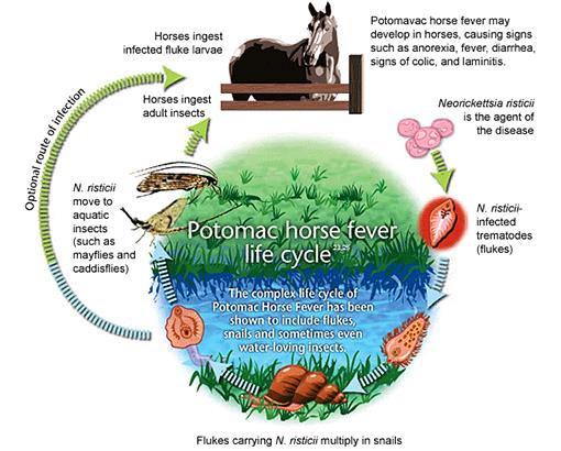 Potomac Horse Fever Life Cycle.jpg