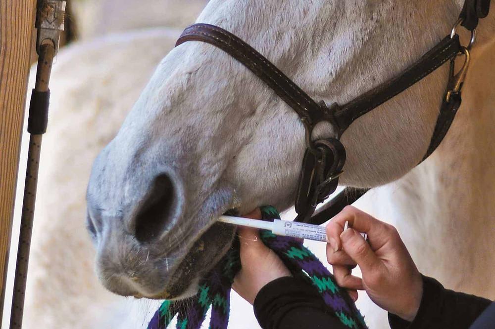 A horse receiving deworming medication