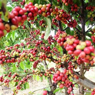 Pailin-coffee-farm.jpg