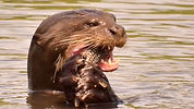 Explore Pantanal  Giant otters (4).jpg