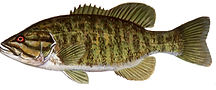 smallmouth_bass.jpg