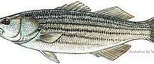 stripedm350.jpg