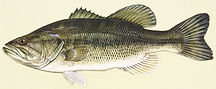 Largemouth-bass-illustration.jpg