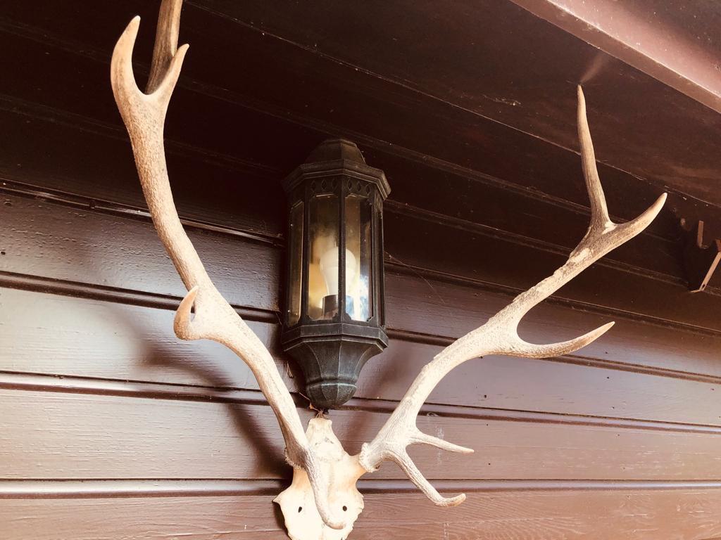 Red deer antlers