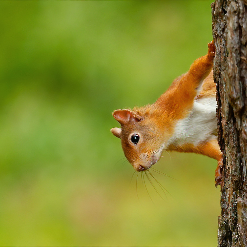 Our resident red squirrel
