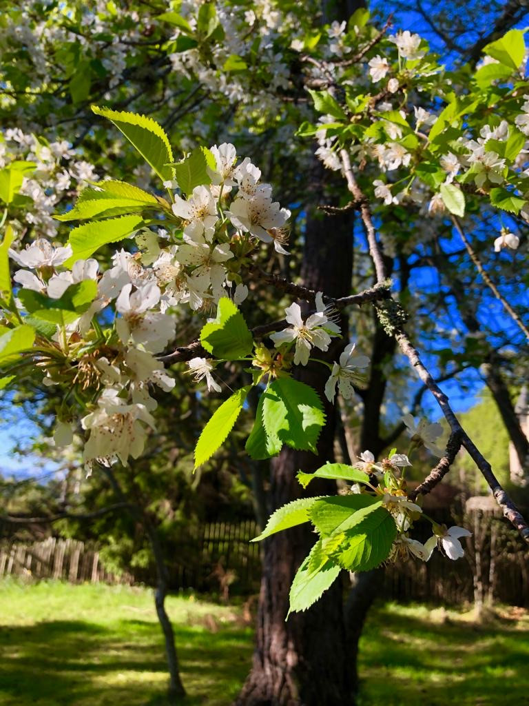 Cherry blossom in the Treehouse garden