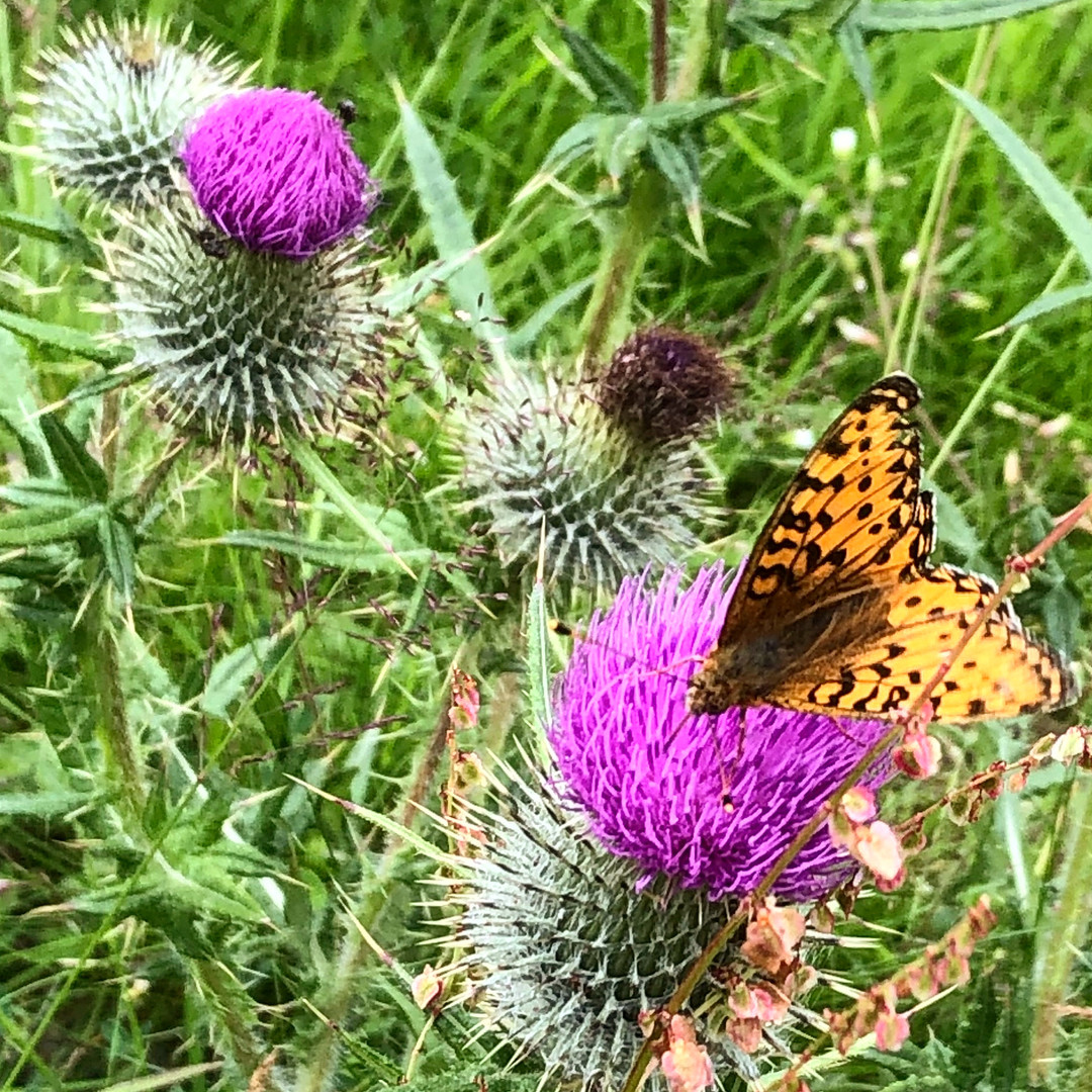 Butterfly and thistles