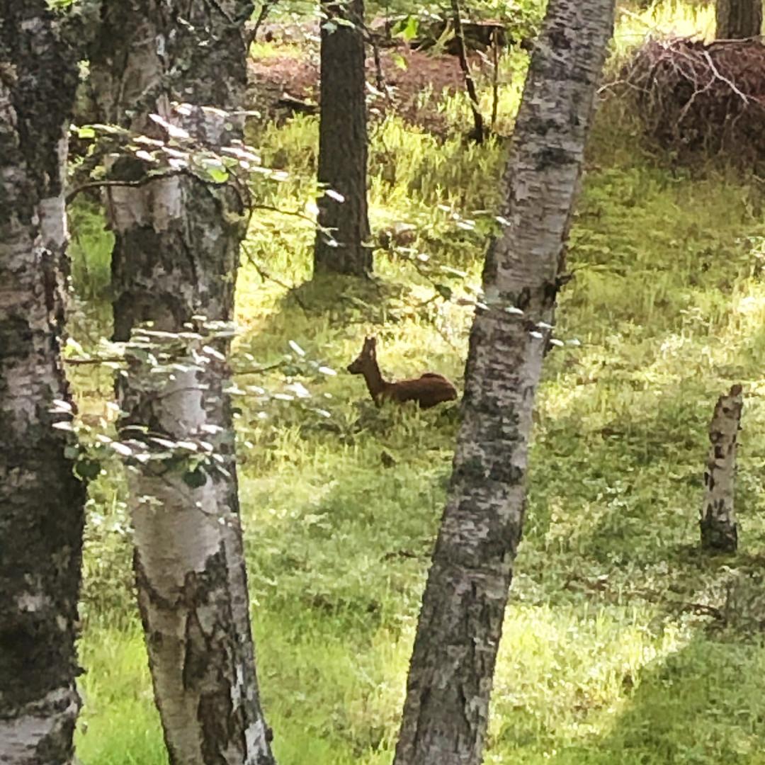 Roe deer in the garden