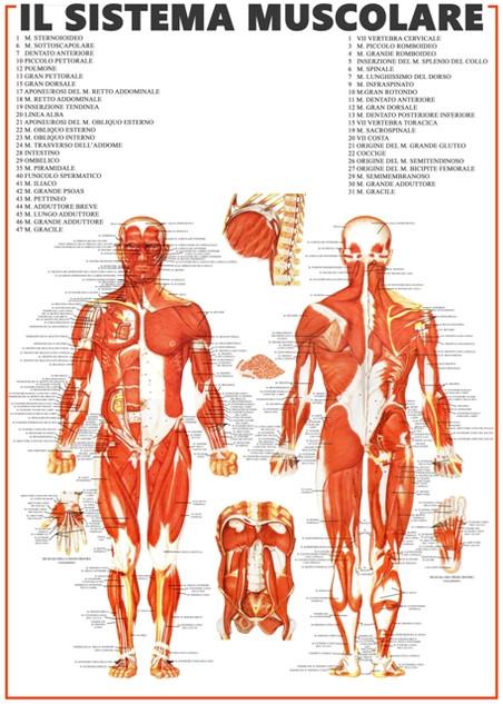 Sistema muscolare.jpg