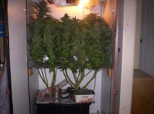 grow-box-budds-300x222.jpg