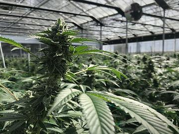 cannabisbud-b498b1b2770d076d1a1352f77c86