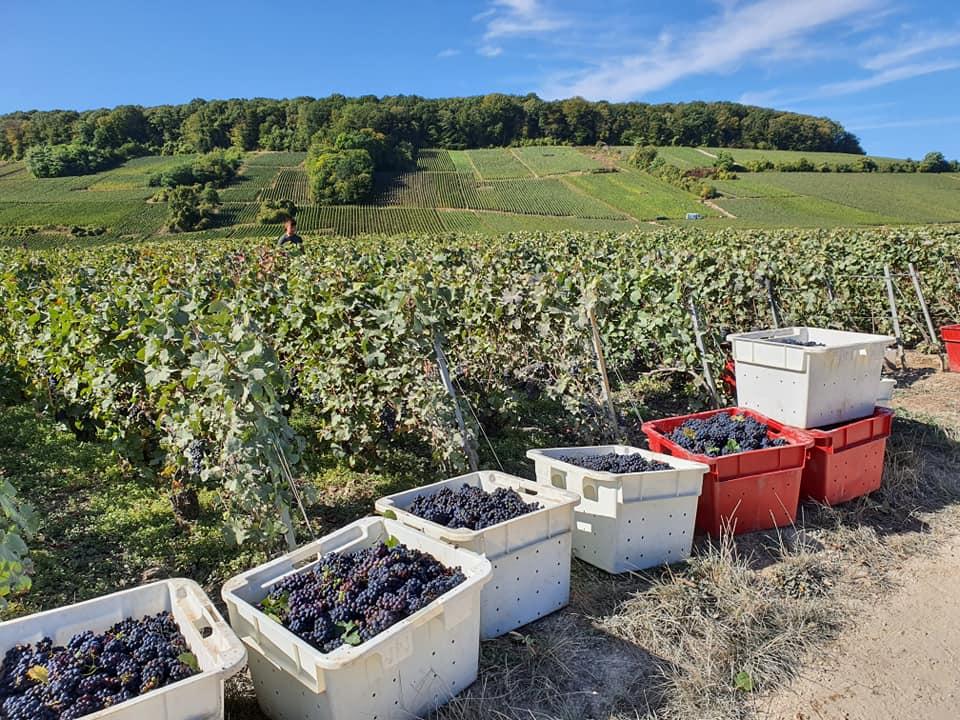 Raisins en attente de chargement au pied de la vigne