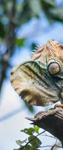 Green iguana display