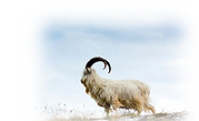 Cashmere-Goat2.png