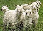アンゴラ山羊.png