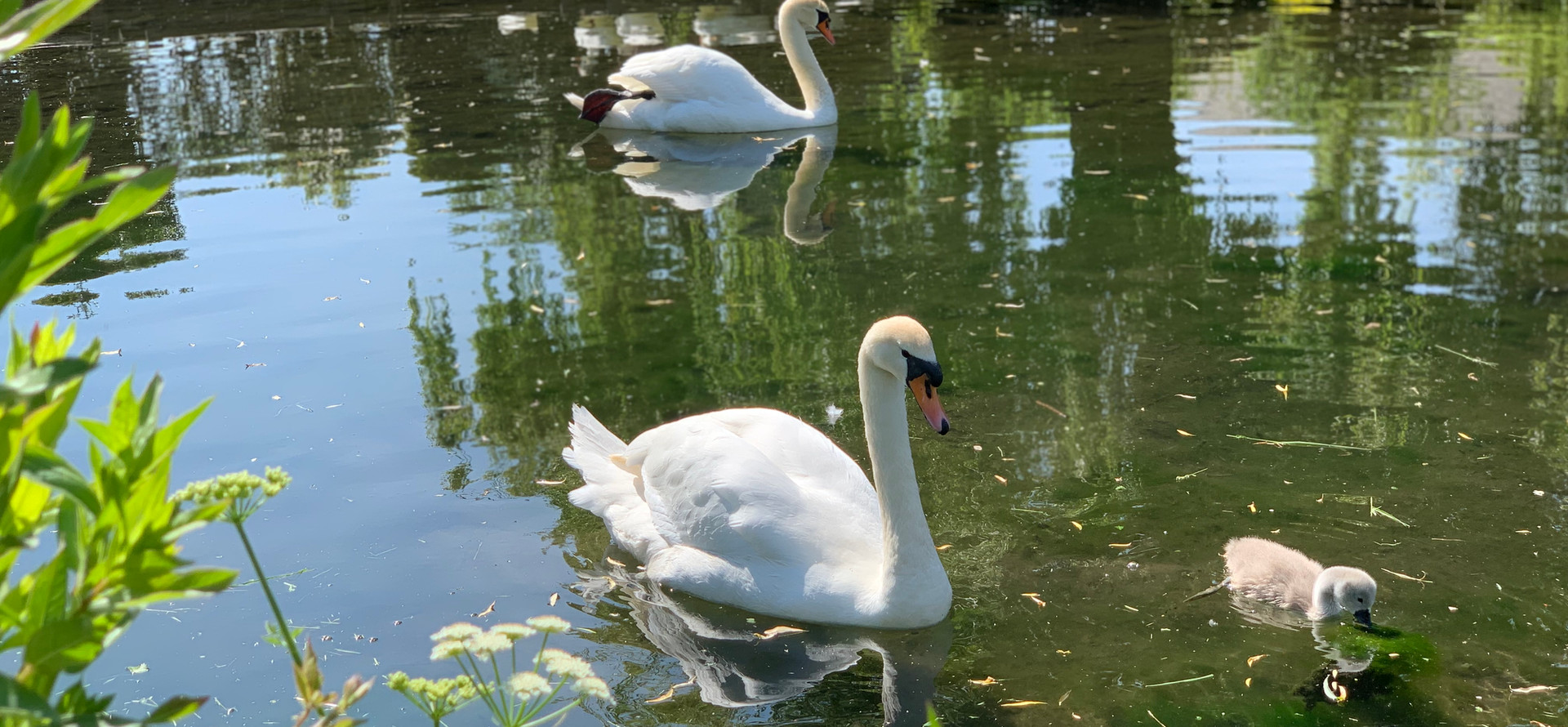 Swans on the pond in West Ashling