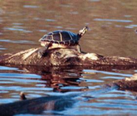 cropped-turtle-crop-u3075.jpg