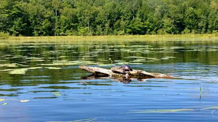 wittswamp_kelly_turtles_august2013.jpg