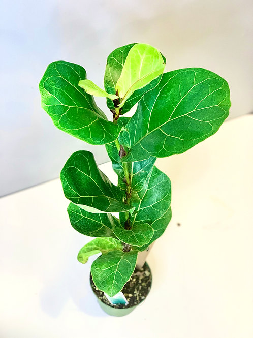"""Baby Fiddle Leaf Fig 6"""""""