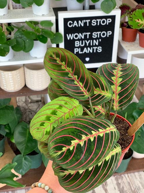 "Prayer Plant (4"")"