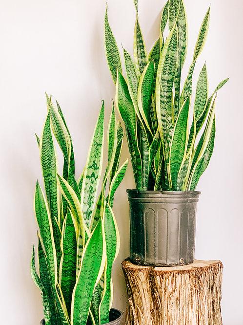 """Snake Plant - 10"""""""
