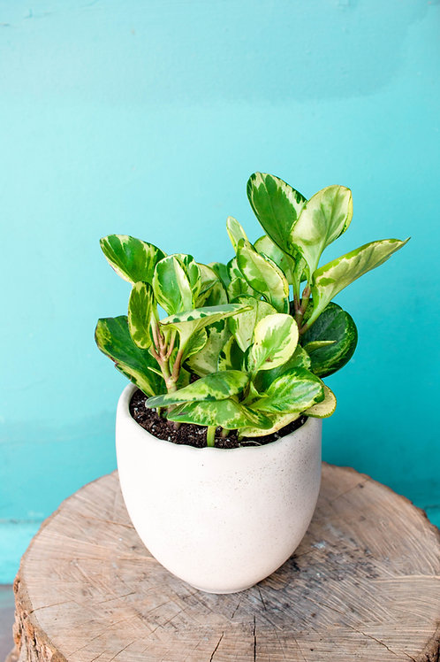 Potted Houseplant