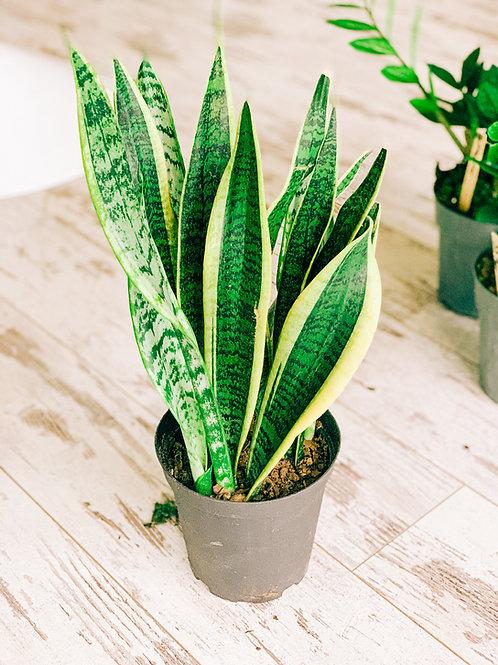 """Snake Plant - 6"""""""