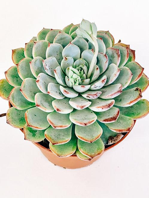"""Echeveria Succulent 4"""""""