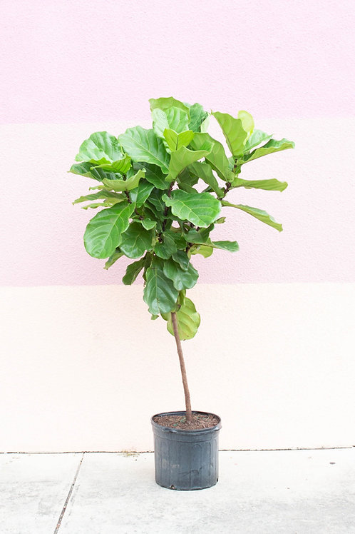 Fiddle Leaf Fig Standard Tree
