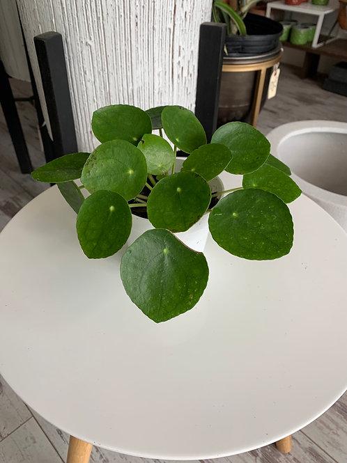 "Pilea/Chinese Money Plant 4"""