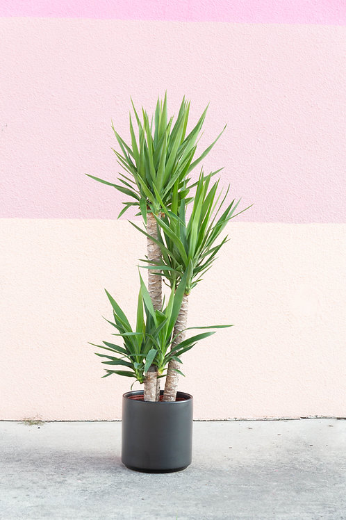 """Stacked Yucca 10"""""""