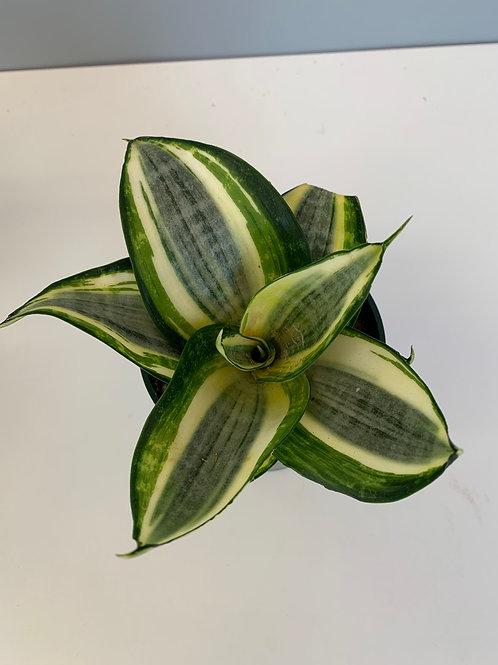 """Snake Plant - Trifasciata 4"""""""