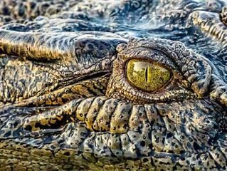 To trust a Crocodile