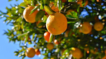 Efficient results in managing false codling moth - follow these guidelines for citrus orchard sanita