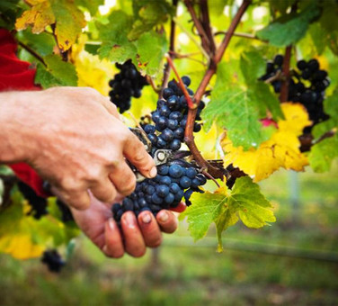 Uptake processes of nutrients applied in Viticulture