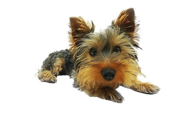 Yorkshire-terrier-790361-PSD-file-with-s