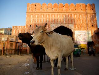 Jaipur, an open zoo!
